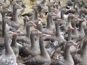 foie gras - PerleDiGusto.it