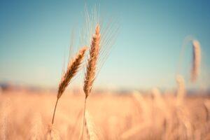curiosità sul grano - Perledigusto.it